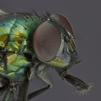 Focus Stacking Mouche Verte1