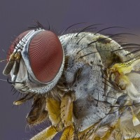 Focus Stacking Mouche2