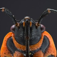 Focus Stacking Pyrrhocoris apterus