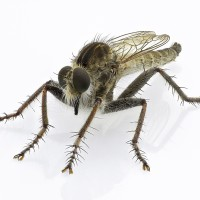 Robber Fly focus stacking1