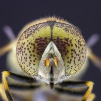 Syrphe en focus stacking5